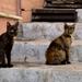 máltai macskák
