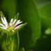 Picurka virágBBB