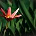 első tulipánBB