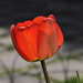 Tulipán piros