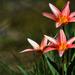 Három tulipán