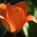 Tulipán itthon