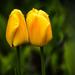 Összebújva Tulipán
