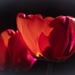 Még tulipán