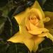 Sárga rózsa BBBBBB