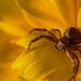 Pók a virágon