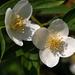 Jázmin virága
