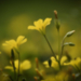 Kis sárga virág