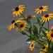 Csicsóka virága