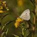 Kis pillangó