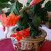 Karácsonyi kaktusz /kicsit megkésve nyílott/.