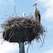 Szlovén gólya