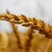 wheat-6491873