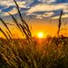 wheat-2391348