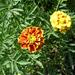 Bársonyvirág