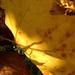 sárga levelek2 2011.10.31.