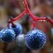 kék bogyók