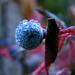 kék bogyó