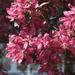 Díszalmafa virágzásban