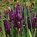 Törpe liliomok