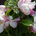 Almafa virágzásban