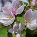 Almafa virágzásban 1