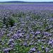 Facélia mező