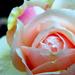 Fázós rózsa