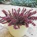 Crassula corymbulosa