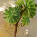 Aeonium 'sunburst' (?)