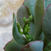 Crassula arborescens 'Blue Bird'