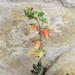Echeveria nodulosa 'Painted Beauty'