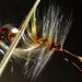 Pelargonium appendiculatum seeds