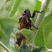 Tibicina (haematodes?)