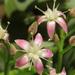 Crassula arborescens ssp. 'Blue Bird'