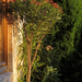 Nerium oleander 'Atlas Nain de Tidili'