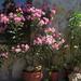 Nerium oleander 'Villa Romaine'