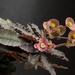 Euphorbia francoisii var. crassicaulis rubrifolia