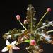 Boswellia nana