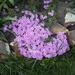 árlevelű lángvirág 04.26 005