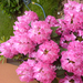 rododendron már elvirágzóban 05.15 002