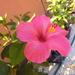 06.16 024 magonc 3.sz első virága