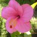 Baby rose P1020926