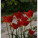 Szépséges tulipánjaim
