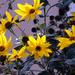 Sárga virágok a kertben