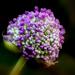 Album - Lila, rózsaszín virágok
