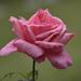 Rózsák eső után