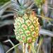 Cserepes ananász