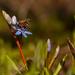 A tavasz hírnökei (Csillagvirág) + (Méhecske)