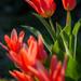 Tavaszi Háztáji Tulipán